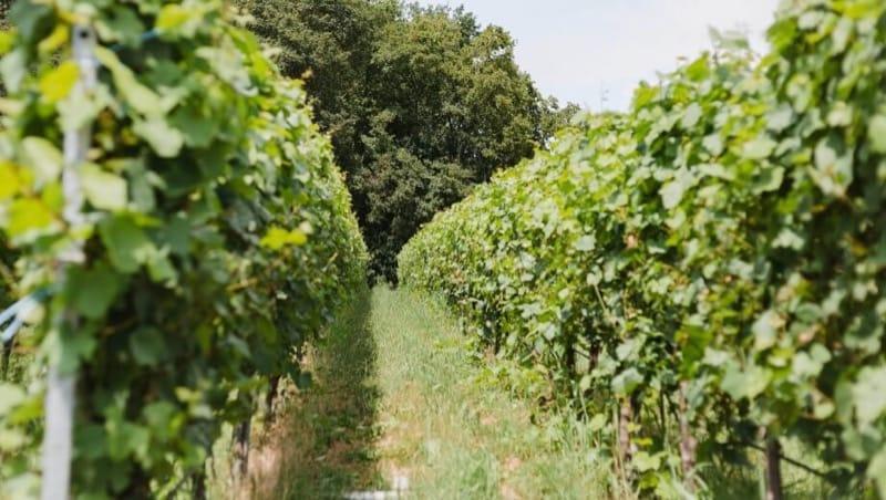 Weinhänge im FriedWald Schwaigern, Foto: FriedWald